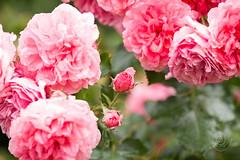 2016_07_Coburg Rosengarten-18 (mimesfotografie) Tags: park coburg sommer natur rosen rosengarten lichtundschatten