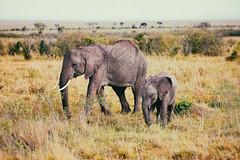 Care and Nurturing in the Maasai Mara (DHaug) Tags: africa wild canon paradise kenya plateau wildlife free plains wrinkled gamereserve maasaimara acaciatrees ef70200mmf28lisusm narok 5dmkii