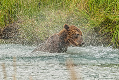 Morning Shower (endrunner) Tags: nature animal bear brownbear grizzly handheld notripod