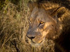 Lion (loveexploring) Tags: africa botswana moremigamereserve apexpredator carnivore male portrait predator wildlife