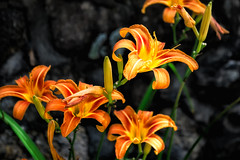 Daylilies (FotoFloridian) Tags: a6000 sony orange flower bloom summer nature daylily nik