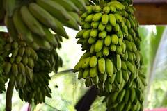 Hanging Bananas (bmasdeu) Tags: green banana bunch hanging tropical produce fruit