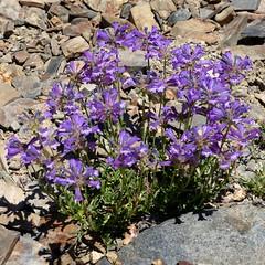 Penstemon rydbergii var. oreocharis, MEADOW PENSTEMON (openspacer) Tags: inyocounty inyonationalforest penstemon subalpine scrophulariaceae flower