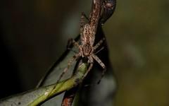 Pisauridae? (dustaway) Tags: arthropoda arachnida araneae araneomorphae pisauridae australianspiders rotarypark rainforest lismore northernrivers nsw nature australia
