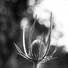 dwelling in chiaroscuro (lunaryuna) Tags: nature plant summer season light shadow chairoscuro bokeh macro blackwhite bw monochromne lunaryuna squareformat