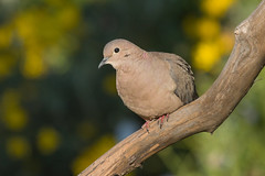 Trtola (ik_kil) Tags: trtola eareddove zenaidaauriculata santiago reginmetropolitana avesdechile birds dove chile