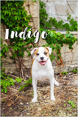 Indigo (living_dead_babe) Tags: bully dog breed charity animal woof