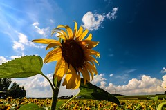 As unique as you (yarin.asanth) Tags: beautiful summertime vacation sun weather yarinasanth gerdkozik yellow landscape fields skyblue blue sky sunflower flower