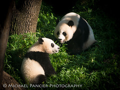 Pandas - Mei Xiang and Bei Bei (Michael Pancier Photography) Tags: districtofcolumbia editorialphotography michaelapancier michaelpancierphotography nationalzoo smithsonian washingtondc commercialphotography fineartphotographer landscapephotographer landscapephotography naturephotographer naturephotography travelphotography wwwmichaelpancierphotographycom zoos washington unitedstates us pandas giantpandas meixiang beibei