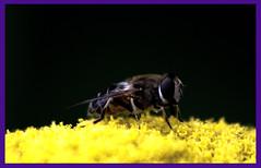 AH62_8138 (der_andyrandy) Tags: insekt macro blte bltenpollen amazingamazing thisphotorocks wow outdoor canoneos7d