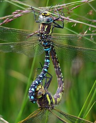 dragonflies mating common Hawkers, Aeshna juncea. (2) (Simon Dell Photography) Tags: dragonflies flys dragon dragonflys mating locked together simon dell photography sheffield longshaw estate 2016 views sights nature landscapes old new fox house peak district national park macro close up awsome detail summer