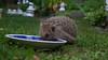 Erinaceus europaeus (talaakso) Tags: braunbrustigel commonhedgehog erinaceuseuropaeus eurooppalainensiili europeanhedgehog finland hedgehog hyvinkää igelkott nikond610 piggsvin pinnsvin siili suomi terolaakso westeuropäischerigel westigel remotecontrol talaakso animalplanet