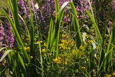 Im Sdermoor - bunte Mischung (Blutweiderich, Sumpfschwertlilie, Wiesen-Platterbse); Bergenhusen, Stapelholm (60) (Chironius) Tags: stapelholm bergenhusen schleswigholstein deutschland germany allemagne alemania germania    ogie pomie szlezwigholsztyn niemcy pomienie blte blossom flower fleur flor fiore blten    moor sumpf marsh peat bog sump bottoms swamp pantano turbera marais tourbire marcageuse