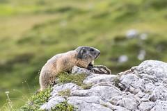 Alpine marmot! (lollo255) Tags: 2016 dolomiti marmot marmotta montagna valparola marmots marmotte mountains dolomites alpine alps alpi animal