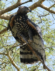 Crowned eagle (African crowned eagle, crowned hawk-eagle) Stephanoaetus coronatus, at Ndumo Nature Reserve, KwaZulu-Natal, South Africa (Derek Keats) Tags: taxonomy:family=accipitridae crownedhawkeagle birds stephanoaetuscoronatus naturereserve forestbirds crownedeagle nature bird africancrownedeagle outdoors taxonomy:binomial=stephanoaetuscoronatus eagles pirdofprey