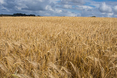 infinite (Ian C Sanderson) Tags: durham countydurham shildon eldpn uk rural wheat field farm countryside coutry farms nikon d7200 landscape 35mm f18 prime northeast thisisdurham