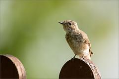 DSC_5820-Edita (Viktor Honti) Tags: nikon d7100 tamron 150600 nature wildlife bird bokeh hungary