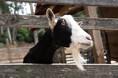 (dreliu) Tags: goat petting zoo goatee animal