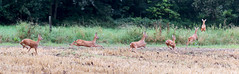 Chevreuil : chevrette - Phalempin - Roe deer (Pap_aH) Tags: papah animal chevreuil chevrette roedeer foret forest france nord north phalempin offlarde 2016 chronophotographie chronophotography montage panoramique panoramic
