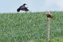 "Red Kite & Raven May 2016 ""An Encounter"" (1) (jgsnow) Tags: ravenredkite bird raptor redkite raven corvid conflict"