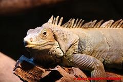 Canberra Zoo - Iguana (soyouz) Tags: aus australiancapitalterritory australie curtin geo:lat=3529945001 geo:lon=14907002039 geotagged animals iguane canberra australiel