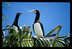 Tahuna Iti, île aux oiseaux de l'atoll de Tetiaroa (alain_halter) Tags: animal bec animaux oiseau plume aile volatile oisillon polynésiefrançaise tetiaroa