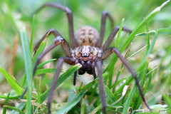 Incey Wincey (Emily Starbug Photography) Tags: macro grass closeup spider tamron90mm canon70d vcusd emilystarbug