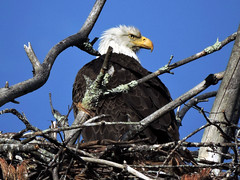eagle522_10a (GWP Photography) Tags: bird animal interesting nikon nest eagle outdoor pennsylvania adler baldeagle pa coolpix eaglesnest aquila orel águia aigle waynecounty águila 老鷹 orzeł milanville örn nestingpair נשר ワシ орел عقاب upperdelawareriver αετόσ waynecountypa coolpixp600 אָדלער