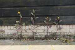 Suns of four (Arne Kuilman) Tags: street flowers amsterdam wall four 4 sunny zon vier bloemen muur 1250 straat zonnig