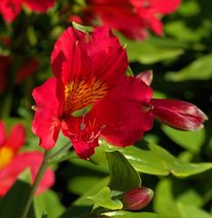 MT TOMAH BOTANNICAL GARDENS (16th man) Tags: flowers macro canon eos sydney australia bluemountains nsw katoomba botannicalgardens mttomah greaterwesternsydney eos5dmkiii