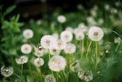 Dandelion (m.sukhanenko) Tags: flower green film nature grass outside 50mm spring bokeh dandelion 200 analogue olympusom10 makeawish blownaway