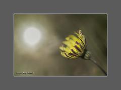 HACIA EL SOL (Juan J. Marqués) Tags: flores primavera luz sol amarillo prado teruel doble fondos exposición