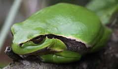 very fat treefrog (bugman11) Tags: boomkikker treefrog fauna frog frogs green animal animals amphibian canon amphibians nature macro 100mm28lmacro nederland thenetherlands 1001nights 1001nightsmagiccity thegalaxy platinumheartaward infinitexposure