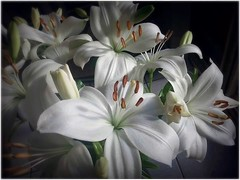 Oriental Lilies (missgeok) Tags: lighting flowers white macro nature floral beautiful closeup composition focus pretty dof lily sydney australia depthoffield lilies blooms highlight orientallily