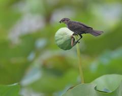Blackbird, female (asparks306) Tags: