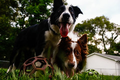 Fate and Loki (Crawford Canines) Tags: bordercollies puppy dog animal mammal ball holleeroller fetch outdoors grass summer