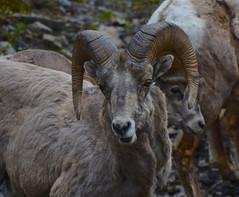 Bighorn sheep, Canadian Rockies (vietnamvera) Tags: bighornsheep canadaflorafauna canadianrockymountains sheep nature canadiannature