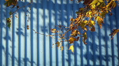 Gold and Blue (Theen ...) Tags: adelaide blue brown corrugated gold green iron leaves lumix plane roof seeds shadows thebarton theen tree verandah