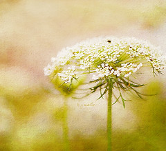 white as can be (Betty Jo ) Tags: nature queenanneslace wildcarrot summer texture textured ngc