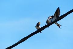 Hungry birds (evisdotter) Tags: ladusvala barnswallow hirundorustica birds fglar nature sooc sky