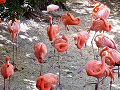 Greater Flamingos (BlueisCoool) Tags: flickr foto photo image capture picture photography sony cybershot dscw300 color colorful pink cute pretty beautiful flamingo flamingos bird animal outdoor outdoors nature zoo florida greaterflamingo lowryparkzoo tampaflorida