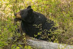 Dream..dream...dream (ChicagoBob46) Tags: blackbear bear sow yellowstonenationalpark yellowstone nature wildlife