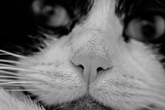 gandalf nose monochrome (PDKImages) Tags: pet cute animal cat nose eyes furry doll fluffy whiskers domestic puss rag pussycat ragdoll moggy househould
