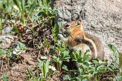 Life in the mountains is good! (Squirrel Girl cbk) Tags: cute june colorado sanjuanmountains 2016 goldenmantledgroundsquirrel callospermophiluslateralis