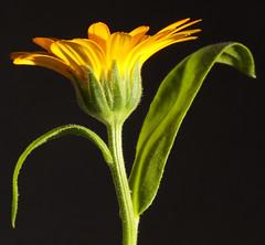 Flower (1selecta) Tags: green yellow orange black hair hairs leaf leaves petal petals stem dance dancing
