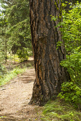 Cle Elum River Trail (Don Thoreby) Tags: forest canyon cascades washingtonstate slopes cascademountains cascaderange aspentrees ponderosapine cleelumriver suncadiaresort cleelumrivervalley