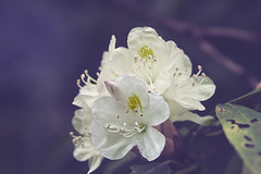 Rhododendron Bloom (LarryHB) Tags: park travel summer mountain flower macro tree nature horizontal photography nationalpark tennessee overview 2016