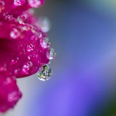 Mon jardin  l'envers (S@ndrine Nel) Tags: goutte gouttedeau drop droplet pink blue dew nelsandrine macro