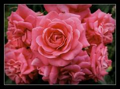 Friday's Flower Power (karin_b1966) Tags: blume flower blte blossom pflanze plant garten garden natur nature 2016 rosenstmmchenrosepalace yourbestoftoday