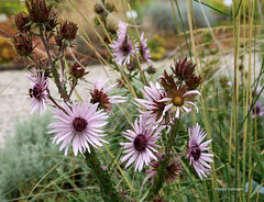 2-IMG_3575 (hemingwayfoto) Tags: berggarten berkheyapurpurea blte distel hannover nordamerika prriegarten purpurdistel sommer wild